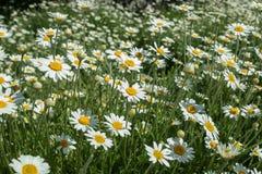 Gr?smatta som t?tt ?r bevuxen med blommor av vita tusensk?nor som t?nds ljust av str?larna av dagsolen royaltyfria bilder