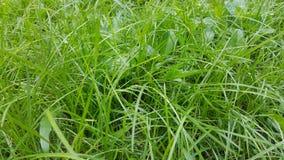 Gräsmattadetalj för grönt gräs Arkivbilder