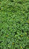 Gräsmattadetalj för grönt gräs med gula blommor Royaltyfri Bild