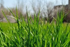 Gräsmattagräs Arkivfoto