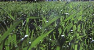 Gräsmattagräs med dagg stock video