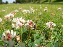 Gräsmattaväxt av släktet Trifolium med biet Arkivfoto