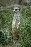 gräsmeerkat Royaltyfri Fotografi