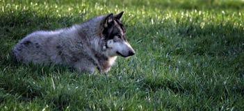 gräsplaceringswolf royaltyfri bild