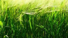Gräsplanöron av råg svänger i vind Närbild lager videofilmer