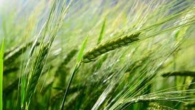 Gräsplanöron av råg svänger i vind Närbild stock video