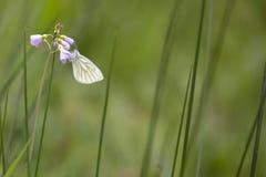Gräsplan-ådrad vit Pierisnapifjäril som vilar och matar n Royaltyfri Fotografi