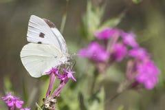 Gräsplan-ådrad vit specificerad vit pierisnapi på en purpurfärgad blomma arkivfoton