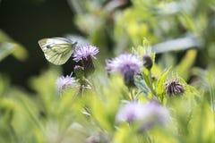 Gräsplan-ådrade vita Pierisnapihängningar på en purpurfärgad tistel dricker Arkivbilder