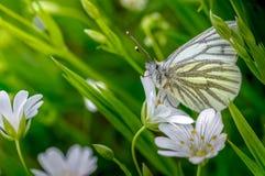Gräsplan-ådrat vitt, Pierisnapi som väntar i vegetation arkivfoto