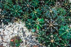 Gräsplan av den Echinopsis kaktuns arkivbild