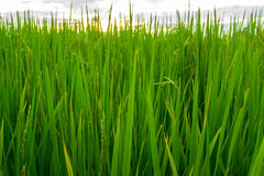 Gräsplan av ris Fotografering för Bildbyråer