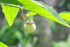 Gräsplan bär frukt Thailand Royaltyfri Foto