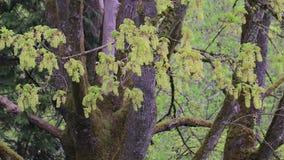 Gräsplan blomstrar i vår på stort mång- trunked träd arkivfilmer