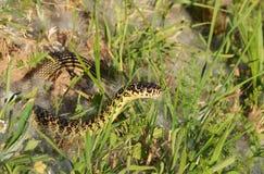 Gräsplan eller västra piskar ormen (den Hierophis viridiflavusen) Arkivbilder