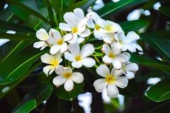 Gräsplan för bakgrund för Champa blomma härlig Arkivbild