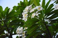 Gräsplan för bakgrund för Champa blomma härlig Fotografering för Bildbyråer