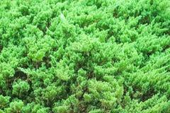 Gräsplan för den bästa sikten sörjer lämnar modeller, naturlig bakgrund, dekorativt träd royaltyfri fotografi