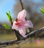Gräsplan för färger för persikarosa färgblomningen lämnar ljus closeupen Royaltyfri Foto