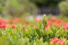 Gräsplan för grov spikblommabakgrund Royaltyfri Fotografi