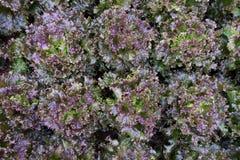 Gräsplan för mat för lantgård för grönsak för grönsallatkolonikoloni åkerbruk organisk royaltyfri foto