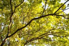 Gräsplan för sikten för den unga ekskogen lämnar övre bakgrund för deppighethimmel Royaltyfri Bild