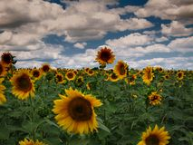 Gräsplan för solrosor för solrosor för solrossol fri royaltyfri foto
