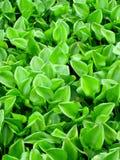 Gräsplan för vattenhyacint, bakgrundstextur Royaltyfri Foto