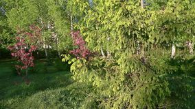 Gräsplan förgrena sig gran-trädet Kameraspår in och spår ut Vintergröna träd- och visarsidor arkivfilmer