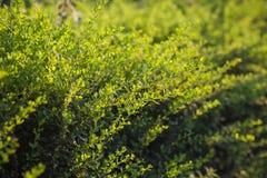 Gräsplan förgrena sig med lämnar Arkivfoto