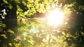 Gräsplan förgrena sig med sidor i skogen som solen skiner lager videofilmer