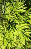Gräsplan förgrena sig och lämnar bambu. Royaltyfri Foto