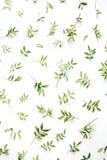 Gräsplan förgrena sig på vit bakgrund Royaltyfri Foto