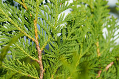 Gräsplan förgrena sig thujacloseupen Royaltyfria Foton