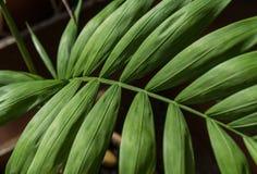 Gräsplan gömma i handflatan det Howea bladet på svart Arkivbilder