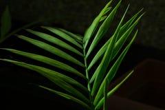 Gräsplan gömma i handflatan det Howea bladet på svart Royaltyfri Foto