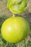 Gräsplan-guling citron Royaltyfria Foton