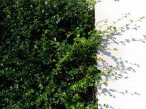 Gräsplan lämnar bakgrund och vitväggen Arkivbild