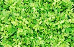 Gräsplan lämnar buskebakgrund Royaltyfri Fotografi