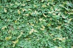 Gräsplan lämnar för att texturera Royaltyfria Bilder