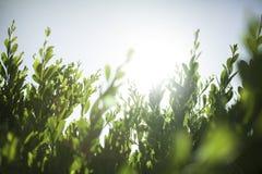 Gräsplan lämnar glöd Fotografering för Bildbyråer