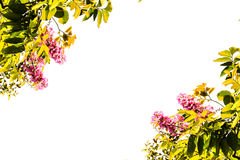 Gräsplan lämnar inthanin, rosa färgblommor som isoleras på vit bakgrund Fotografering för Bildbyråer