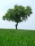Gräsplan lämnar olivträdet överst en kulle på en grön äng Arkivbild