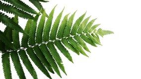 Gräsplan lämnar på ormbunken den tropiska rainforestlövverkväxten royaltyfria bilder