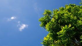 Gräsplan lämnar trädet mot den blåa himlen i sommar Arkivfoto