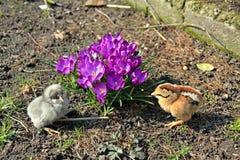 Gräsplan-lagd benen på ryggen rapphöna och framträdande blåa fågelungar Royaltyfri Bild