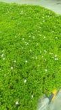 Gräsplan med vita blommor royaltyfria foton