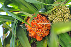 Gräsplan och apelsinen gömma i handflatan frukter Royaltyfri Foto