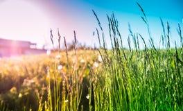 Gräsplan och guldgräs Royaltyfri Foto