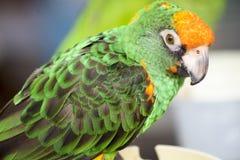 Gräsplan och orange papegoja Fotografering för Bildbyråer